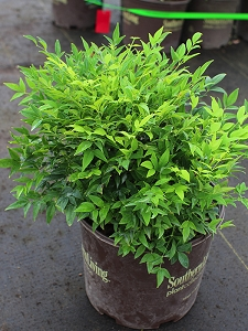 Lemon Lime Nandina